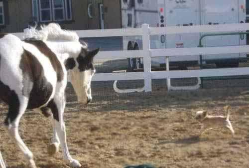 American Paint Horse Calypso