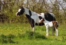 Paint Horse Fohlen Verkauf: Puma - homozygotes Hengstfohlen