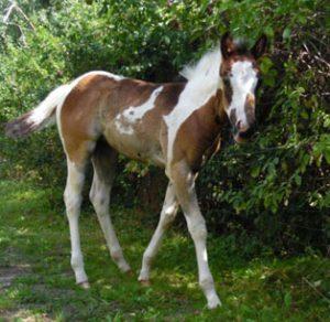meggie paint horse jährling kaufen