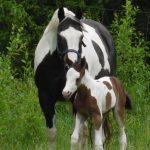 paint horse fohlen tammy