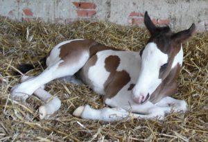 paint horse tammy
