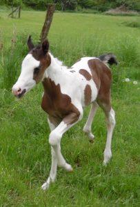 stutfohlen tammy paint horse kaufen