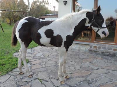 Paint Horse Fohlen Tammy Oktober 2017