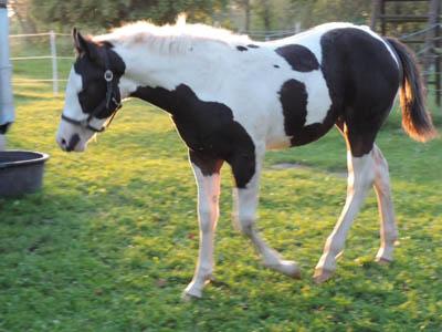 Paint Horse Fohlen Tammy September 2017