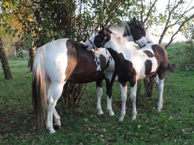 Paint Horse Fohlen Tammy August 2017