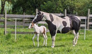 Paint Horse Hengstfohlen 2021 (Spirit) links